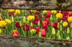 Tulipani tramite il recinto Immagini Stock Libere da Diritti