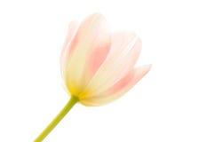 Tulipani trasparenti nella luce intensa Fotografia Stock