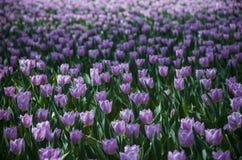 Tulipani ultravioletti, immagine dello srgb Fotografia Stock