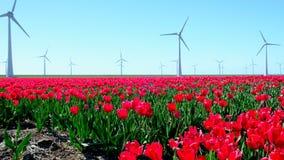 Tulipani in un campo durante il bello giorno di molla stock footage
