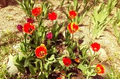 Tulipani in un giardino in primavera Fotografia Stock Libera da Diritti