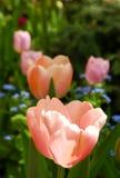 Tulipani in una fila in un'aiola Fotografia Stock