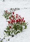 Tulipani in una neve Fotografia Stock Libera da Diritti