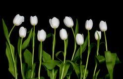 Tulipani in una riga Fotografia Stock Libera da Diritti