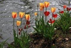 Tulipani variopinti Fotografie Stock