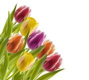 Tulipani variopinti Immagine Stock Libera da Diritti