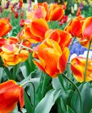Tulipani variopinti. Fotografia Stock
