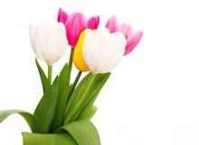 Tulipani variopinti Immagine Stock