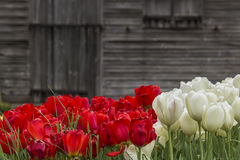 Tulipani variopinti Immagini Stock Libere da Diritti