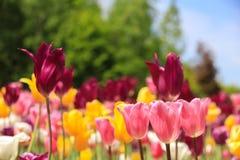 Tulipani variopinti Immagini Stock