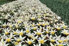 Tulipani variopinti che fioriscono in primavera nel parco olandese famoso del tulipano Keukenhof contenuto, Paesi Bassi fotografia stock