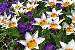 Tulipani variopinti che fioriscono in primavera nel parco olandese famoso del tulipano Keukenhof contenuto, Paesi Bassi fotografia stock libera da diritti