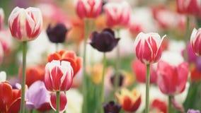 Tulipani variopinti a da vicino archivi video