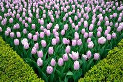 Tulipani variopinti dei fiori della primavera Immagine Stock