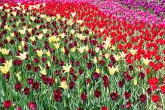Tulipani variopinti dei fiori della primavera Immagine Stock Libera da Diritti