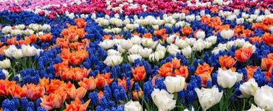 Tulipani variopinti dei fiori della primavera Fotografia Stock