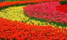 Tulipani variopinti dei fiori della primavera Fotografie Stock