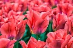Tulipani variopinti dei fiori della primavera Fotografia Stock Libera da Diritti