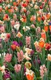 Tulipani variopinti dei fiori della primavera Immagini Stock