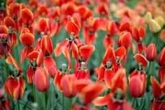 Tulipani variopinti dei fiori della primavera Immagini Stock Libere da Diritti