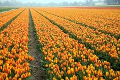 tulipani variopinti del campo Fotografia Stock