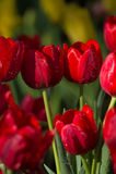 Tulipani variopinti della molla con acqua dello spruzzo Fotografia Stock Libera da Diritti
