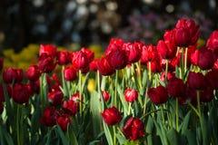 Tulipani variopinti della molla con acqua dello spruzzo Fotografia Stock