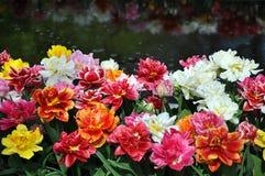 Tulipani variopinti della peonia vicino ad acqua immagine stock libera da diritti