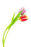 Tulipani variopinti della sorgente Fotografia Stock Libera da Diritti