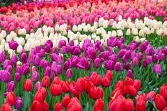 Tulipani variopinti di Triumph immagine stock libera da diritti