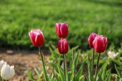 Tulipani variopinti e fiori variopinti Immagine Stock