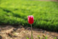 Tulipani variopinti e fiori variopinti Immagini Stock Libere da Diritti