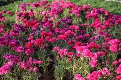 Tulipani variopinti e fiori variopinti Fotografie Stock