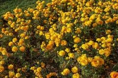 Tulipani variopinti e fiori variopinti Fotografia Stock