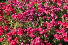 Tulipani variopinti e fiori variopinti Immagine Stock Libera da Diritti