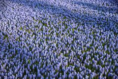 Tulipani variopinti e fiori variopinti Fotografia Stock Libera da Diritti