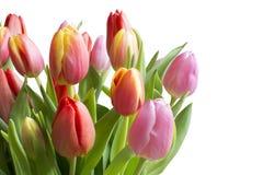 Tulipani variopinti isolati su bianco Fotografia Stock