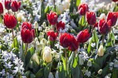 Tulipani variopinti, Keukenhof, Paesi Bassi Fotografia Stock