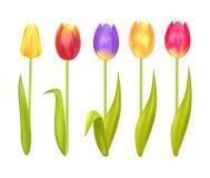 Tulipani variopinti messi isolati su fondo bianco Fotografie Stock Libere da Diritti