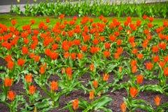 Tulipani variopinti nel giardino, bei tulipani, tulipani della molla, tulipani rossi Fotografia Stock Libera da Diritti