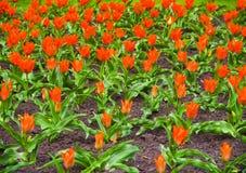 Tulipani variopinti nel giardino, bei tulipani, tulipani della molla, tulipani rossi Immagine Stock