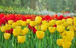 Tulipani variopinti nel parco. Fotografia Stock Libera da Diritti
