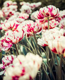 Tulipani variopinti nel sole di estate Fotografie Stock