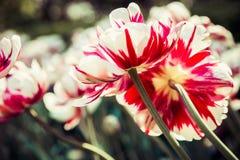Tulipani variopinti nel sole di estate Fotografia Stock