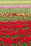 Tulipani variopinti senza fine - carta da parati Fotografia Stock