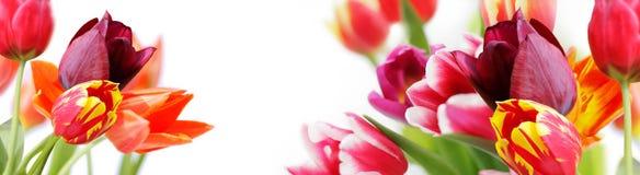 Tulipani variopinti su fondo bianco Fotografie Stock