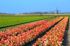 Tulipani variopinti sul campo dal mulino a vento olandese Fotografie Stock Libere da Diritti