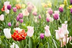 Tulipani variopinti sul prato Immagine Stock Libera da Diritti