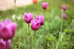 Tulipani variopinti, tulipani in primavera Immagini Stock