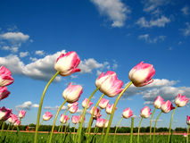 Tulipani in vento Fotografie Stock